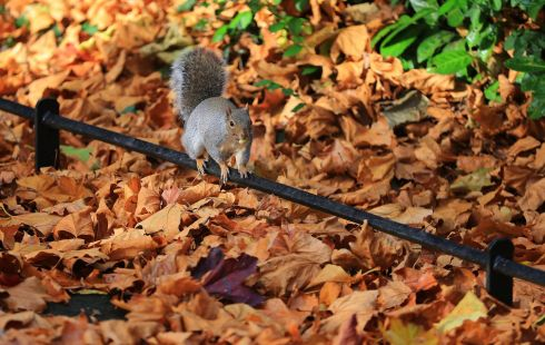 FINDERS KEEPERS: A squirrel carries a foraged acorn amid fallen autumnal leaves in Dublin. Photograph: Nick Bradshaw