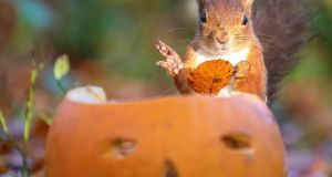 TRICK OR TREAT? A native red squirrel enjoying a Halloween treat. Photograph: North West Newspix