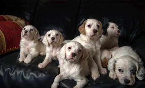 DOE EYES: English Setter pups, aged five weeks, owned by the Ryan family, of Cork. Just beginning their training, English Setters are still used as hunting dogs. Photograph: Michael Mac Sweeney/Provision