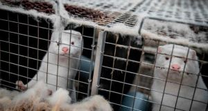 Mink look out from their cage at a farm near Naestved, Denmark. Photograph: Mads Claus Rasmussen/Ritzau Scanpix/AFP via Getty Images