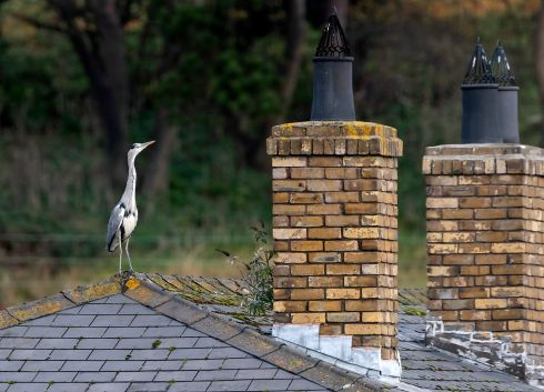 ROOFTOP VIEW: A heron stands on a rooftop of an apatrment block in Islandbridge, Dublin on Thursday morning. Photograph: Colin Keegan/Collins Dublin