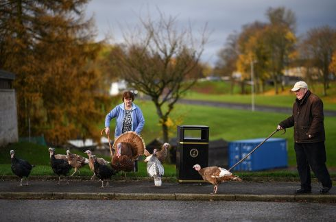 RARE TURKEY: Retired businessman Brian Moodie (74) and his sister Gillian Moodie, herds his flock of turkeys along the street near his home on November 12th in Camelon, Scotland. Mr Moodie regularly takes his turkey flock, which contains several rare breeds, for a walk around town, he started looking after birds in his back garden near Falkirk, 10 years ago to help conserve the rare breeds. Photograph: Jeff J Mitchell/Getty