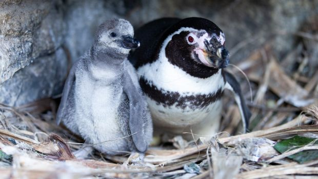 Dublin Zoo celebrated in March its first penguin chicks hatching since 2013.