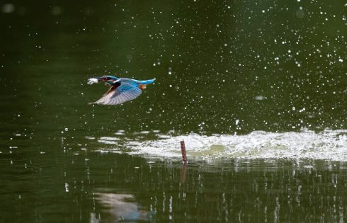 A common Kingfisher  with a small fish in its beak flies over the water at a lake in Myanmar. Photograph: Lynn Bo Bo/EPA