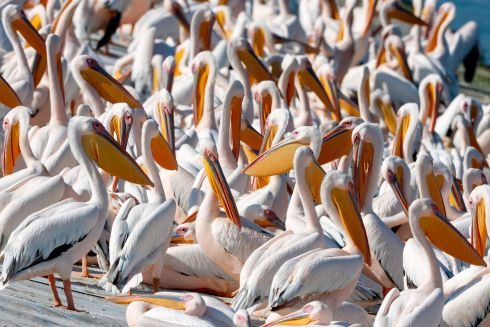 Great white pelicans at a reservoir in Mishmar HaSharon, north Israel's Mediterranean coastal city of Tel Aviv. Thousands of migrant Pelicans pass though Israel on their way to Africa then again when they return to Europe in the summer. Photograph: Jack Guez/Getty