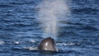 Sperm whales one of most abundant whale species off Ireland