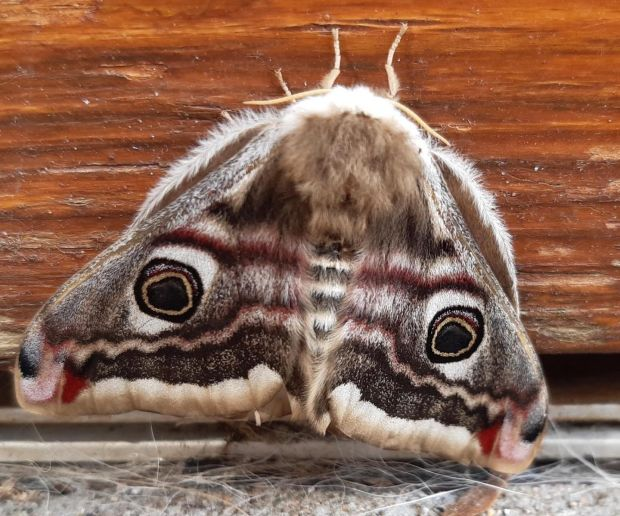 Emperor moth. Photograph: Frank Kennedy, Co Galway