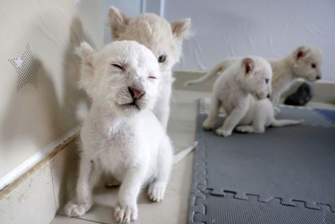 BEASTS IN WAITING: Quadruplet white lion cubs at play at Nantong Forest Wildlife Zoo in Nantong, in eastern China's Jiangsu province. Photograph: AFP/Getty