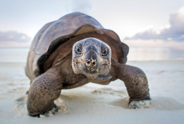 A giant tortoise living onAldabra Island, a remote and uninhabited atoll in the Indian Ocean. Photograph: Huw Cordey/Silverback Films/BBC