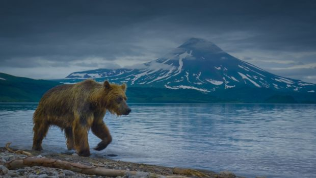 A brown bear patrols the shore of Kurile Lake, which lies in the shadow of a volcano. Photographer: Silverback films