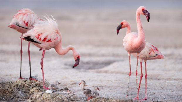 Flamingos with chicks on Lake Natron. Photograph: Darren Williams/Silverback Films/BBC