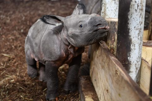 ONE OF A KIND: A young Indian rhinoceros (Rhinoceros unicornis) in his enclosure at a zoo in Wroclaw, western Poland. Born several days ago, this is the first Indian rhinoceros born in the Wroclaw zoo. Photograph: Maciej Kulczynski/EPA