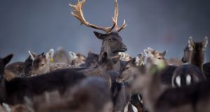 BUCK UP: A buck in a herd of fallow deer on a frosty morning in Dublin's Phoenix Park. Photograph: Morgan Treacy/Inpho