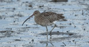 A Curlew wading in mud. Photograph: Getty Ireland