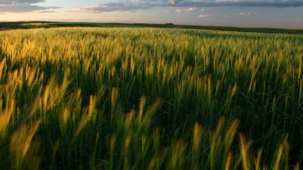 A Canadian wheat field.