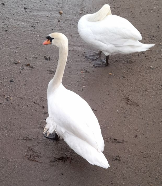 Swans in Bray harbour