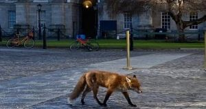 Sam the Trinity fox seen in the grounds of the university. Staff left out food laced with antibiotics after she was seen with mange during the first lockdown. Photograph: Eoin Hand.