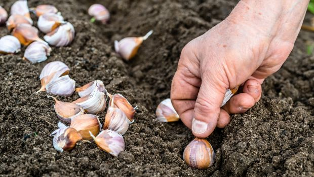 This is a good time of the year to sow garlic cloves. Photograph: iStock