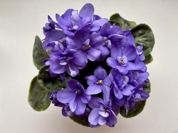 African Violet growing in a pot. Photograph: iStock