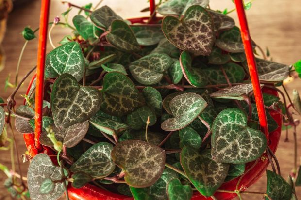 String of Hearts plant. Photograph: iStock