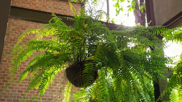 Boston fern is a diva of a houseplant. Photograph: iStock