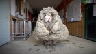 Lockdown haircuts: wild sheep rescued in Australia shorn of 35 kg fleece