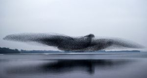 Perfect shot: the murmuration of starlings over Lough Ennell, in Co Westmeath, on Tuesday evening. Photograph: James Crombie/Inpho
