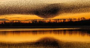 More murmurations James Crombie's stunning starlings