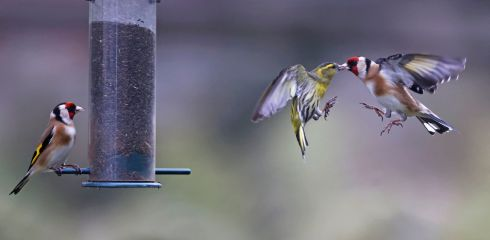 FOOD FIGHT: A Siskin (the green bird at centre, belonging to the finch family) competes with goldfinches for food at a seed feeder in a back garden. Photograph Nick Bradshaw/fotonic.ie
