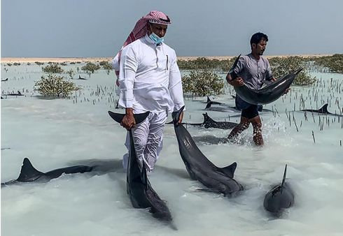 Volunteers guide stranded dolphins by hand to deeper waters after 40 dolphins beached due to bad weather in Khor al-Thuqba, northwest Saudi Arabia. Photograph: Stringer/SPA/AFP via Getty