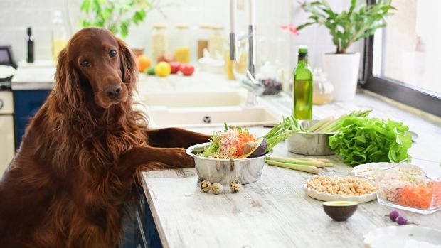 It is recommended that veterinary advice be sought before putting a dog on a vegetarian or vegan diet.