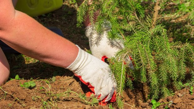 April is an excellent time of the year to plant evergreen plants and conifers including spruce. Photograph: Getty