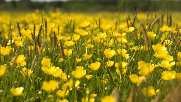 Buttercups are indicative of a damp, heavy soil. Photograph: Getty