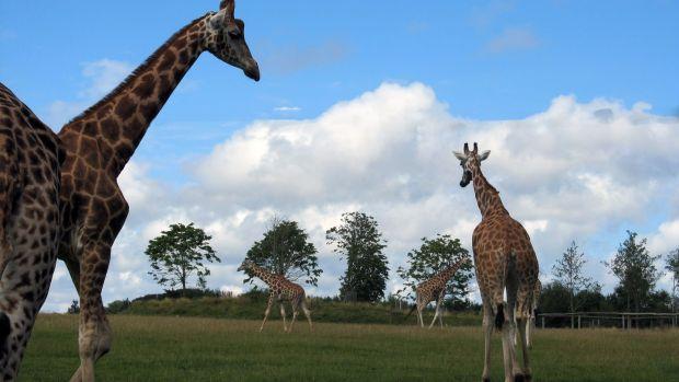 Giraffes at Fota Wildlife Park. Fota Island near Carrigtwohill, Co Cork.