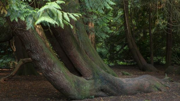 Trunk of a huge old tree in Gosford Forest Park, Markethill, Co Armagh