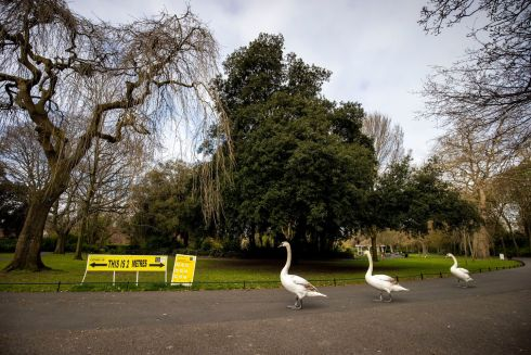 SIGN LANGUAGE: Swans pay attention to the social distancing regulations at St Stephen's Green in Dublin. Photograph: Tom Honan