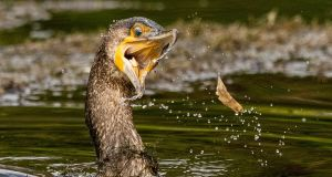 A cormorant toys with a minnow on the pond at Bushy Park, Dublin. Photograph: Naoise Culhane