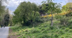 Furze bushes (top right) on the descent into the Phoenix Park's Furry Glen. Photograph: Frank McNally
