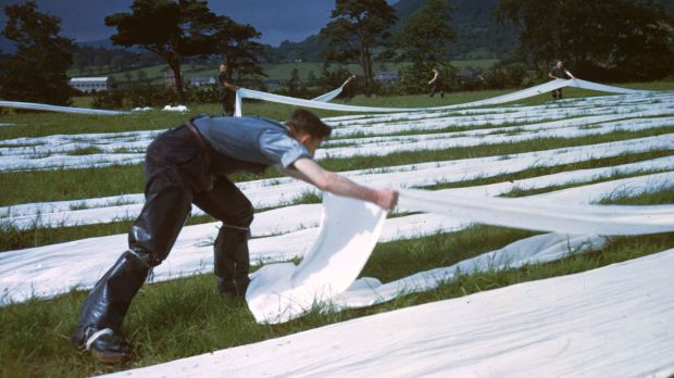 Factory workers grass-bleaching lengths of linen in the open air at Killinchy iCo Down, in 1948. Photograph: Merlyn Severn/Picture Post/Hulton Archive/Getty Images