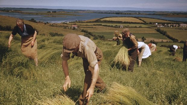 Picking flax in Co Down. Photograph: Getty Images