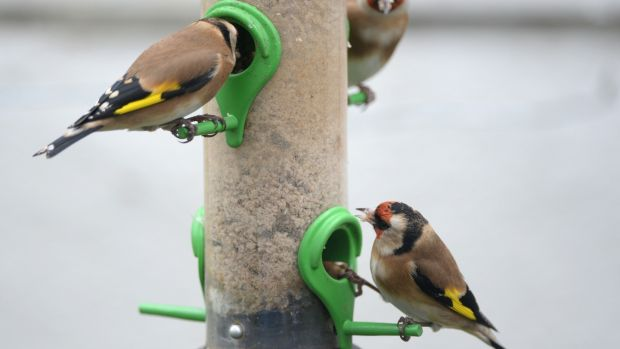 Goldfinches at a garden feeder in Dublin. Birdwatch Ireland has a series of downloadable lesson plans and teaching materials for schools. Photograph: Frank Miller