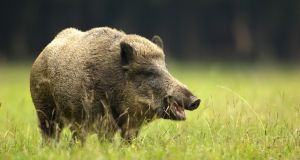 Wild boar triggers legal earthquake in Poland