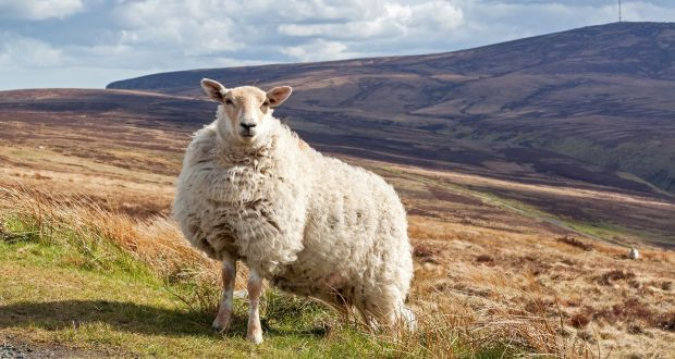 Wool is plentiful, renewable, beautiful to wear and breathable, but it's almost extinct as a fashion fabric in Ireland. Photograph: iStock