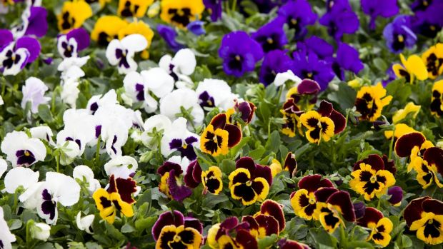 Continue to plant winter beds and spring-flowering biennials like pansies.  Photography: iStock
