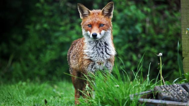 Growing under cover will protect strawberries from visitors to the garden like a fox.  Photography: iStock