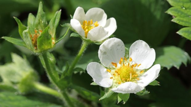 Make sure pollinating insects can access strawberry blossoms.  Photography: iStock