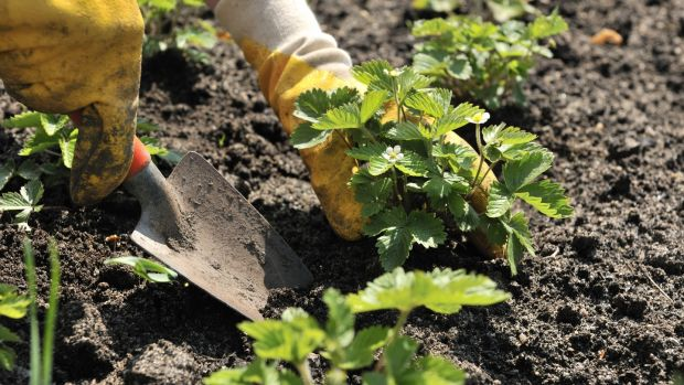 This is the perfect time of year to either create your very own little strawberry patch. Photograph: iStock